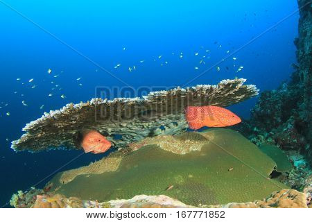 Table Coral and Grouper fish. Fish in ocean