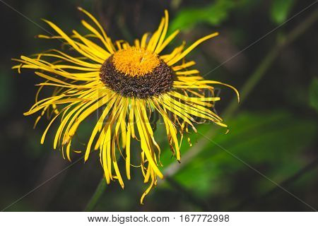 Inula Flowering Plant, Yellow Flower