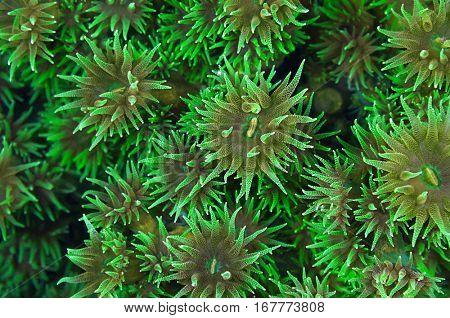 Wallpaper pattern of black sun coral polyp background, Tubastraea micranthus.