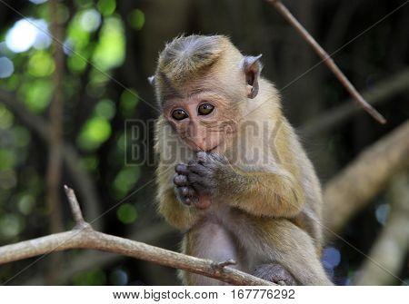 Portrait of the monkey in Sigiria Sri Lanka