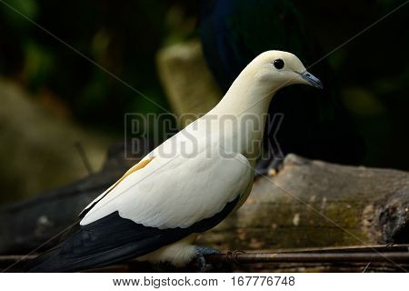 beautiful Pie Imperial Pigeon (Ducula bicolor) standing on branch