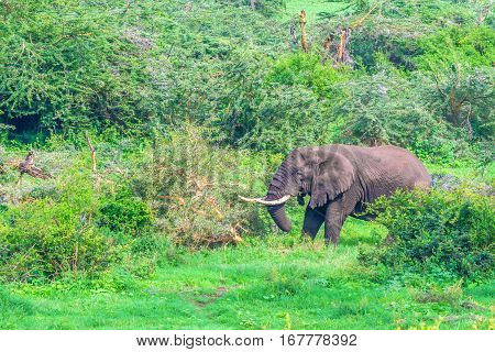 Browsing African elephant in Ngorongoro crater forest, Tanzania