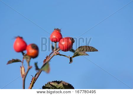 Ripe briar fruit, wild rose hip shrub in nature. Dog-rose berry close-up