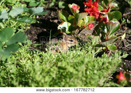 Cute chipmunk sitting in some plants and flowers