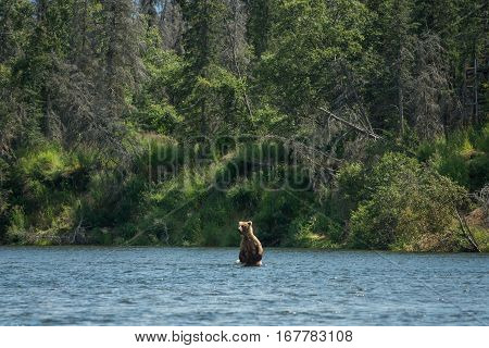 Large Brown Bear Sow