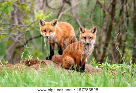 Two red fox kits watch curiously near their den