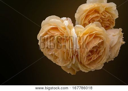 Soft full blown beige roses as a dark background for wedding. Toned and selective focus.