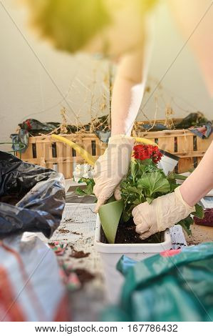 Woman planting Pelargonia flowers at her sunny balcony - on a warm hot summer day in Paris France