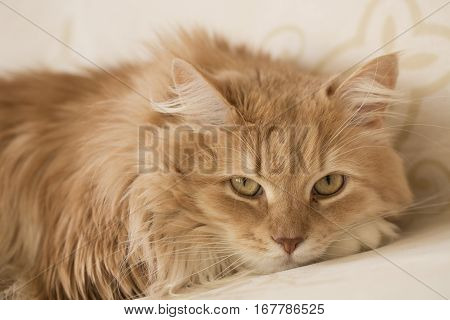Ginger long hair cat in front of the camera