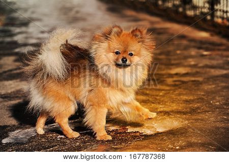 The Spitz, dog, puppy is walking on ice and look to you gravely. Photo made in warm tone