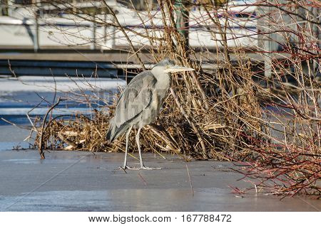 Grey heron (Ardea cinerea) looking for ice free shallows near the landing stage on the icebound frozen river Havel in Berlin Germany