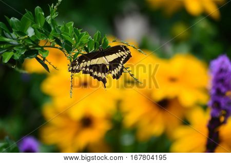 Giant Swallow Tail Butterfly And Sunflowers