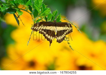 Sunflowers And Giant Swallow Tail Butterfly