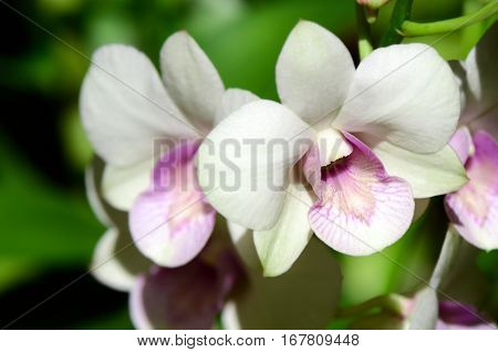 White and purple Denerobium Orchids (Dendrobium Hybrid) on natural green background.