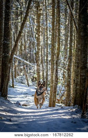German Shepherd Dog Running Down Trail