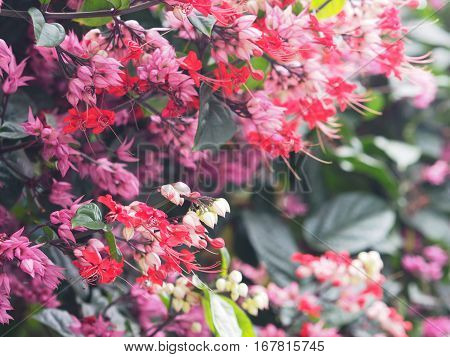 Small red and pink creeper flowers on green background. Bleeding Heart Vine's pink flowers (Clerodendrum thomsoniae 'Delectum')