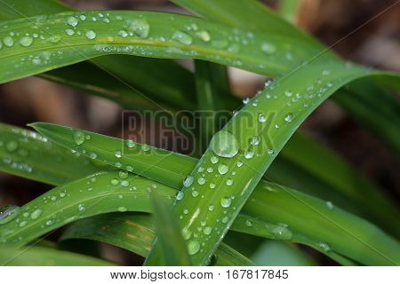 Rain drops on leaves of daylily, close up.