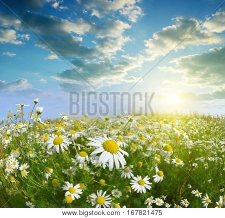 Daisy blooming in the meadow at sunset. Spring season.