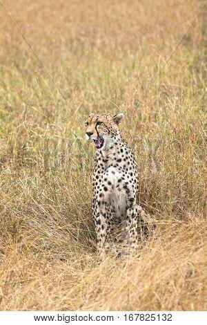 Adult cheetah sits in tall savanna grass of Masai Mara National Reserve Kenya East Africa