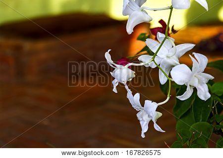 Rhynchostylis retusa white orchids it flower popular for wedding in Thailand.