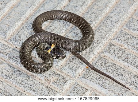 Nonpoisonous Snake adder sitting on the road