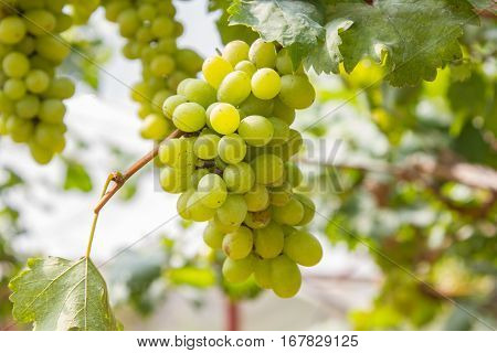 Green grapes fruit on vine sunset time