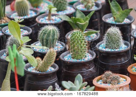 Group of small cactus in the potin Thai market