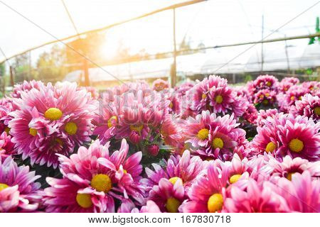 These are pink  and white flowers and has yellow pollen called Chrysanthemum or Florist's Mun or mums flowers which has sunshine. And a sacred flower of China.