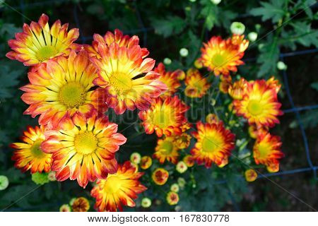 These are red, orange, and yellow flowers and has yellow pollen called Chrysanthemum or Florist's Mun or mums flowers. And a sacred flower of China.