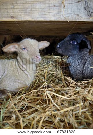Black and white baby lambs in a stable