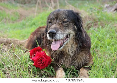 Portrait of cutie and lovely dog is smiling with a beautiful bouquet of artificial red roses.