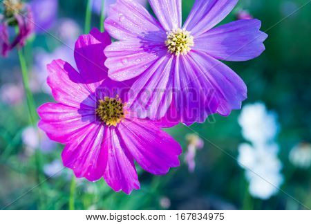 Cosmos flower in field, pink cosmos flowers blooming in the meadow