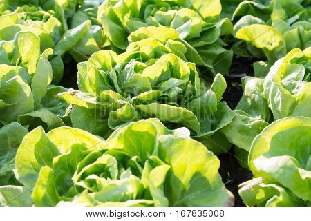 Vegetable Lettuce,Hydroponics field, Vegetable green Hyroponics for you