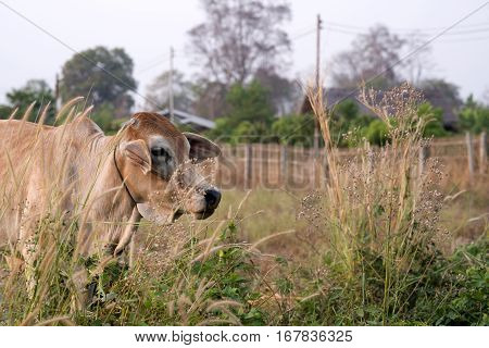 ginger cow in the grass with blurred countryside landscape selective focus blurred foreground
