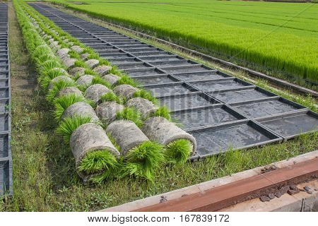 The coil seedlings in preparation for transport to the next crop in the field, The cultivation of rice seedlings in plastic trays.