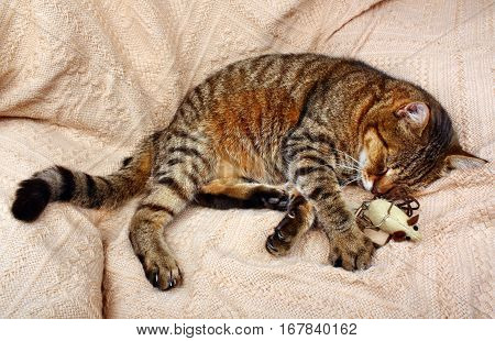 Beautiful Big Cat Slept With A Toy Mouse