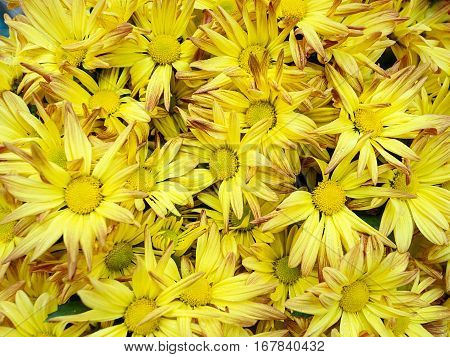 Closed up Center selective focus Yellow flower Chrysanthemum background