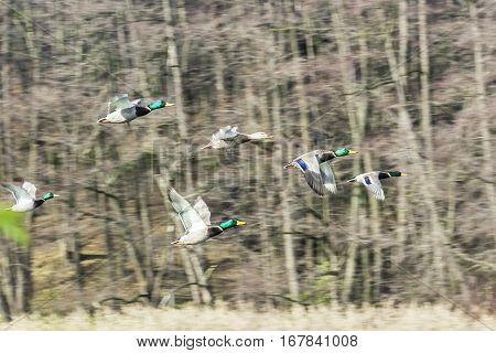 Big flock of mallard ducks flying and tree