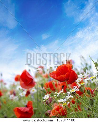 landscape poppy flowers in the sky
