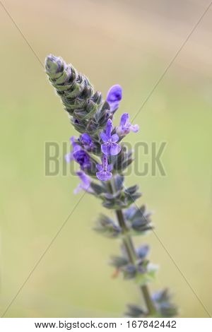 Lavender growing in Central West NSW in spring.