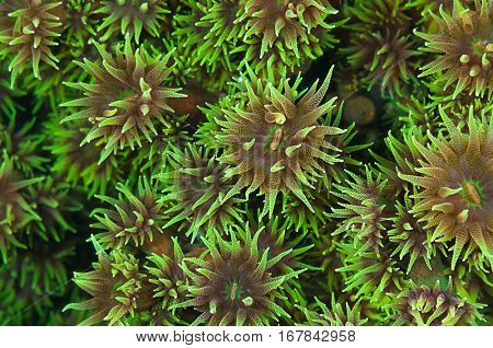 Wallpaper pattern of black sun coral polyp background, Tubastraea micranthus.