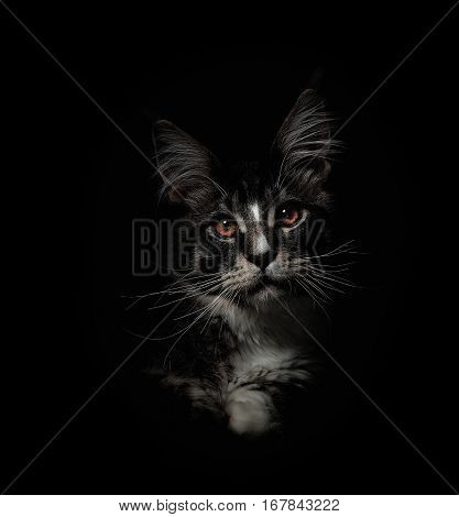 Portrait of kitten Maine coon on black background