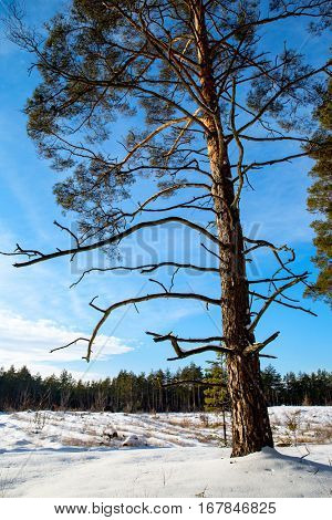 pine tree in winter forest on blue sky background