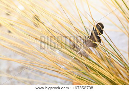 Bird feather held in the grass at beach sand