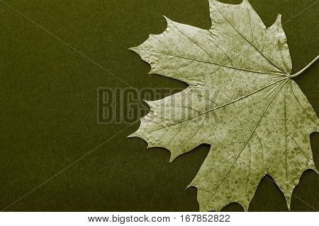 one foliage maple as the isolated object closeup on a dark background