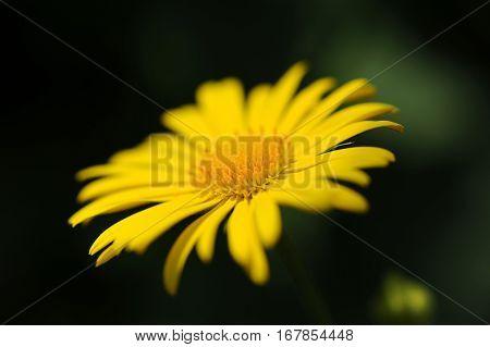 Yellow Daisy flower in macro, summer day