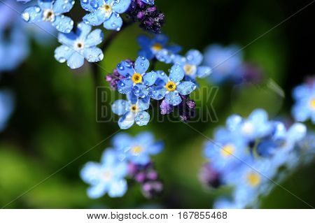 Closeup of blue flowers and pink buds