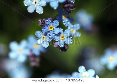 the Myosotis with dew in green background.