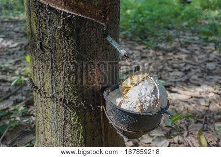 Milky latex extracted from rubber tree in thailand