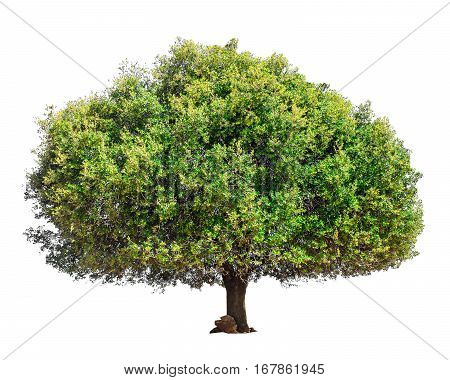Argan tree Morocco. Tree isolated on a white background. Isolated green tree. Argan tree isolated